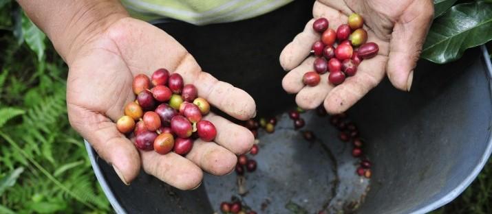 Frio rigoroso pode prejudicar lavouras de café