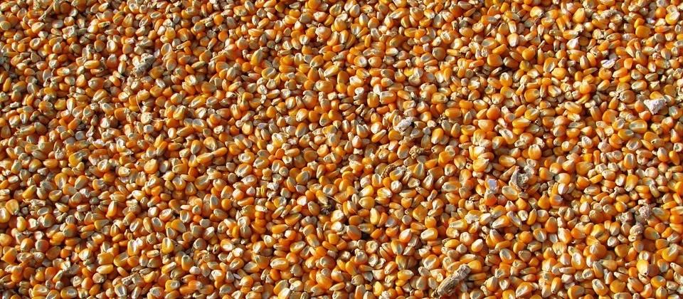 Milho segue valorizado, R$ 33,50 a saca na região de Maringá