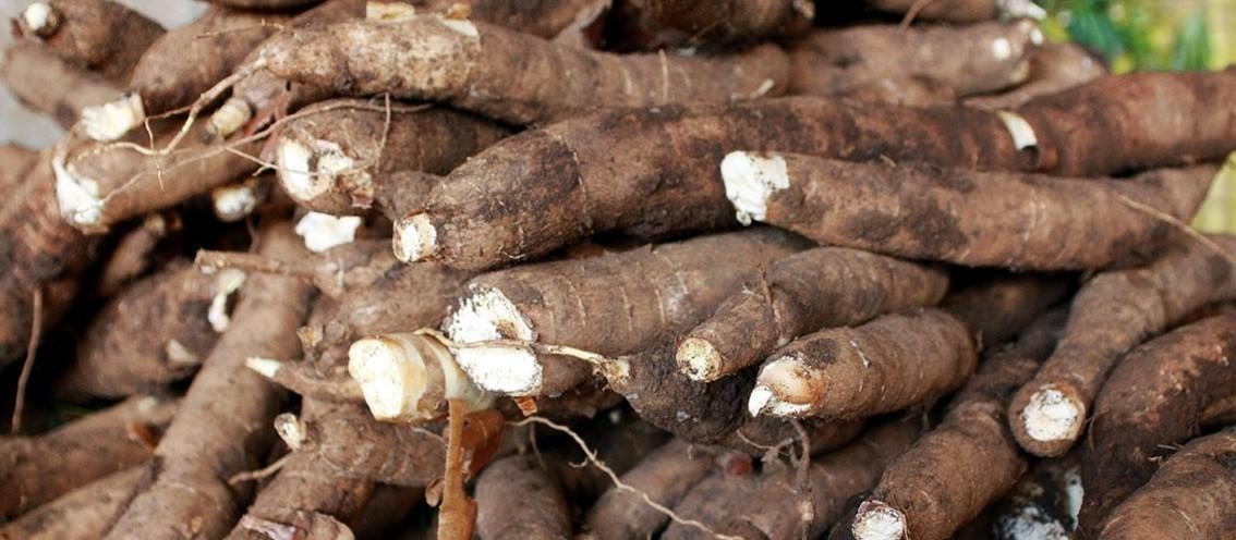 Em Campo Mourão, tonelada da raiz de mandioca custa R$ 330