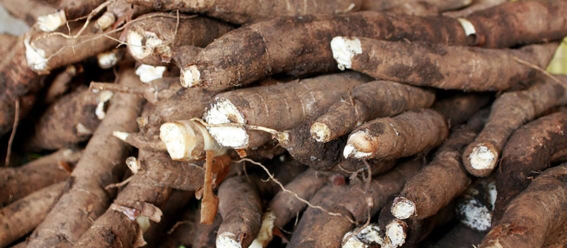 Tonelada da raiz de mandioca custa R$ 394 em Paranavaí