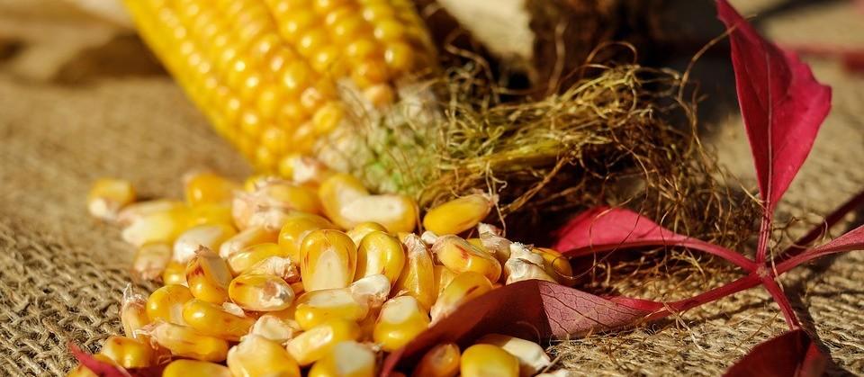 Empresas investem em tecnologia para produção do milho