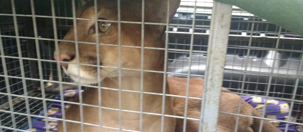 Polícia Ambiental e IAP devolvem puma para natureza