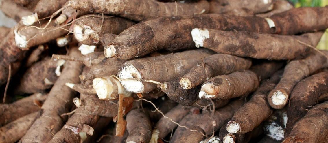 Tonelada da raiz de mandioca custa R$ 310 em Campo Mourão