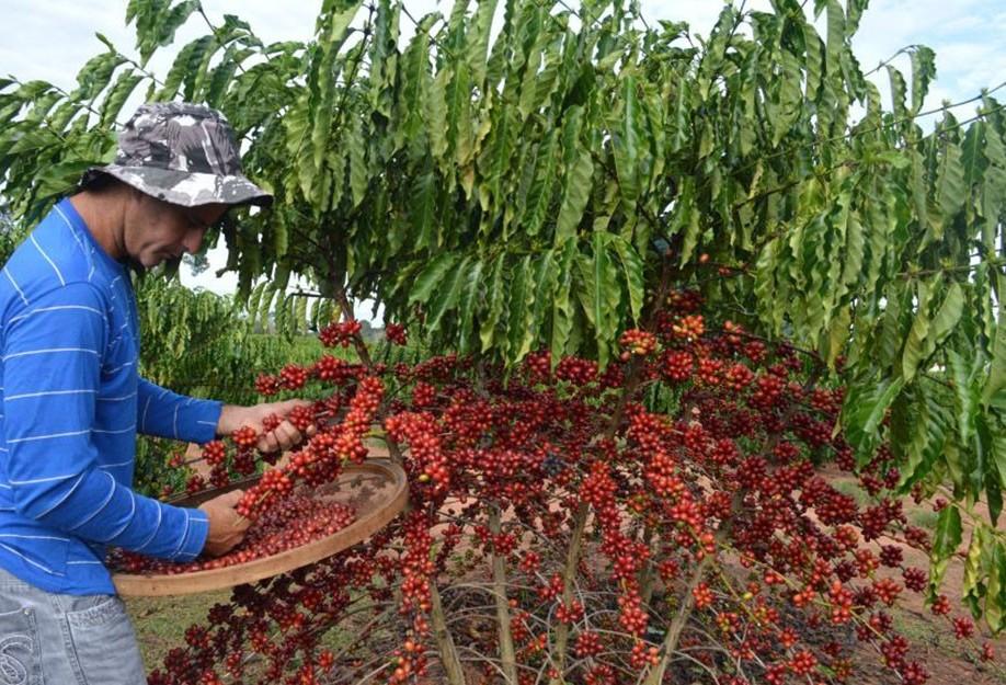 Tempo seco facilita colheita de café no Paraná