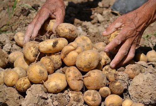 Início da colheita da batata no Paraná
