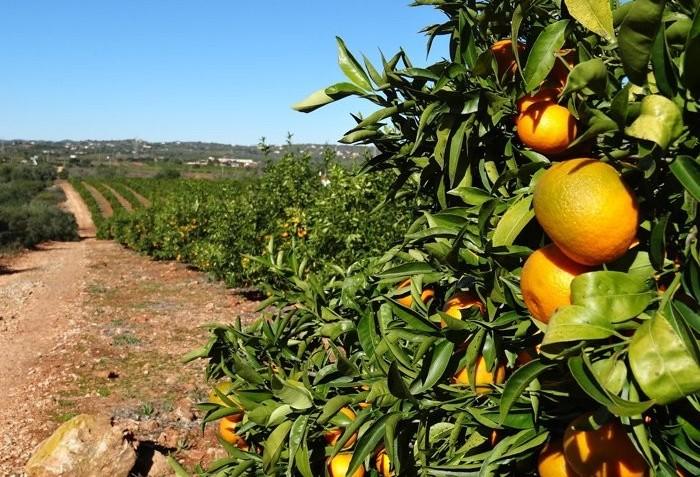 Safra da laranja deve crescer 20% no Paraná