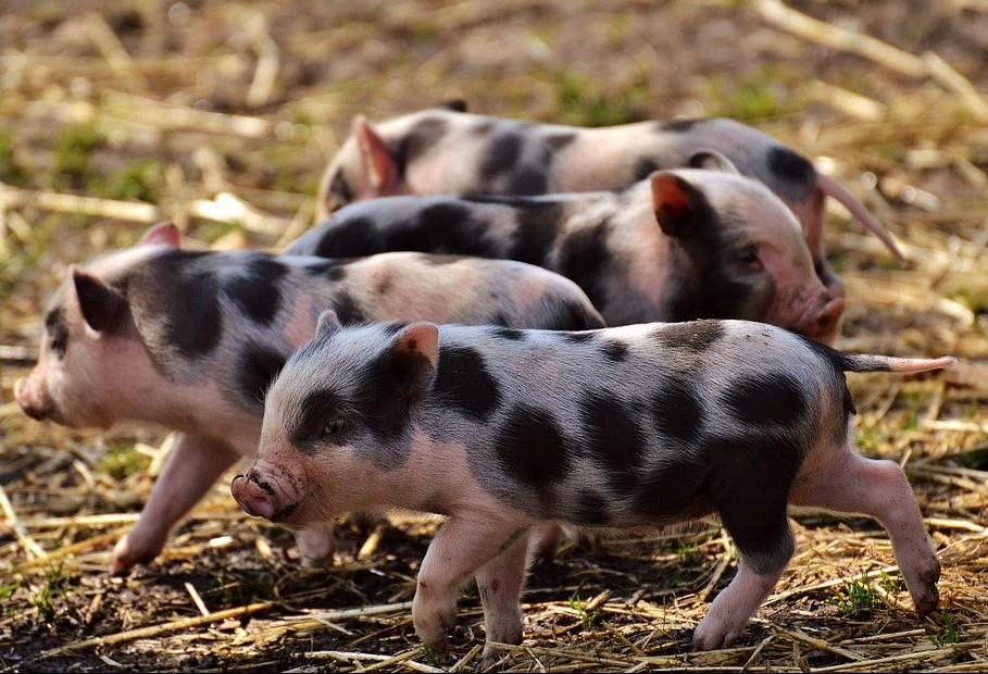 Queda no preço da carne suína favorece consumidor