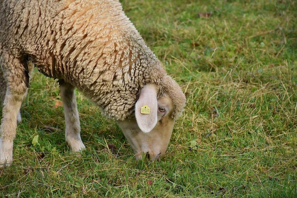No Paraná, procura por carne de ovinos aumenta