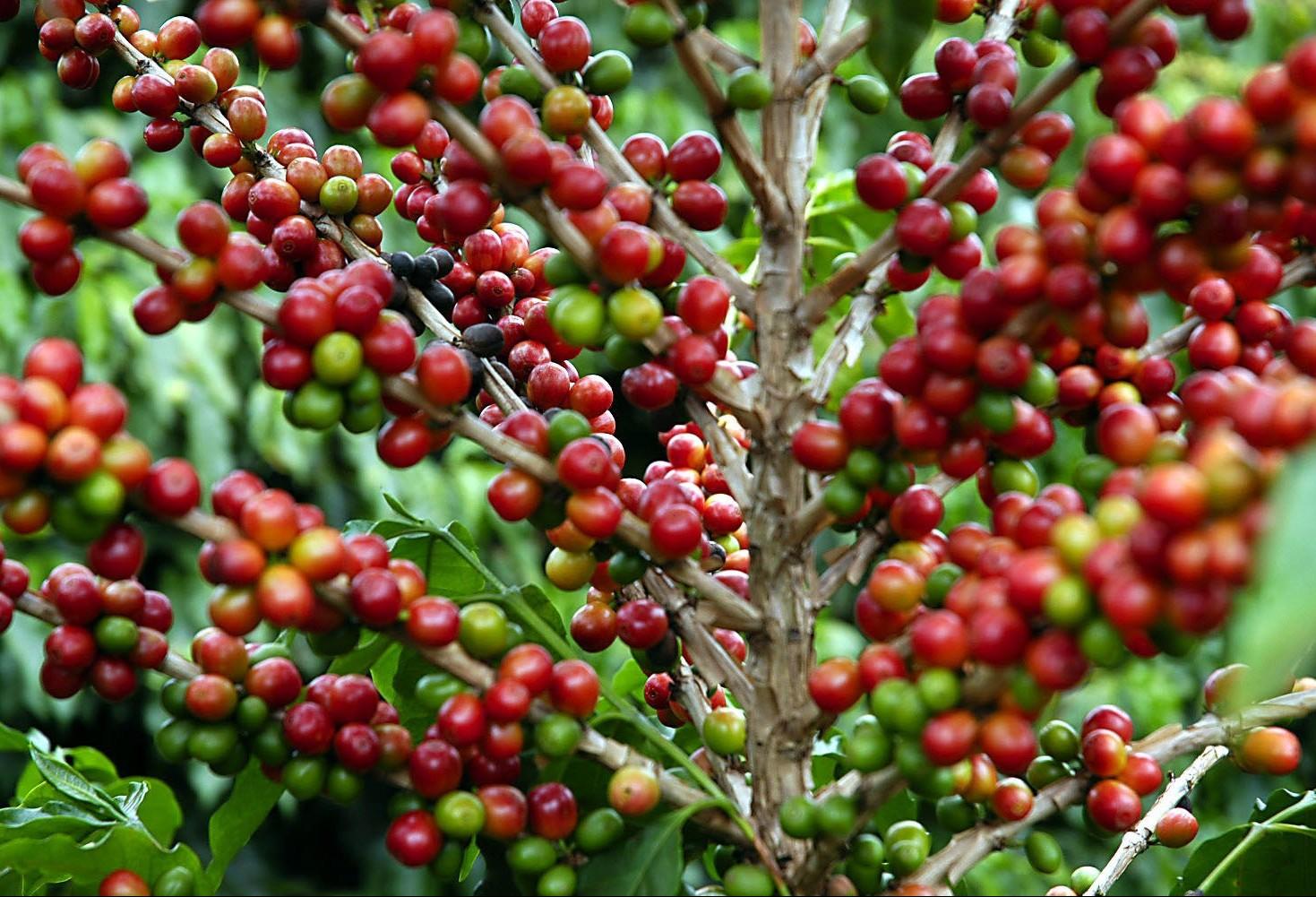 Colheita do café chega a 16% no Paraná