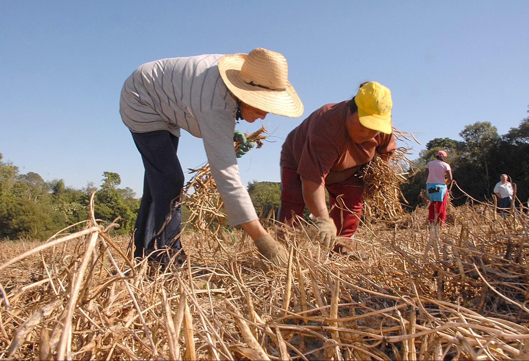 Colheita do feijão avança no Paraná