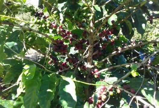 Café em coco custa R$ 6,70 o quilo em Jacarezinho