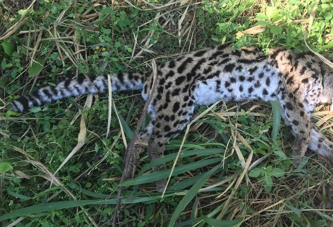 Taxidermia da Jaguatirica atropelada na região vai demorar