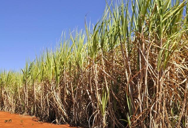 Fatores climáticos prejudicam a produção da cana-de-açúcar no Paraná
