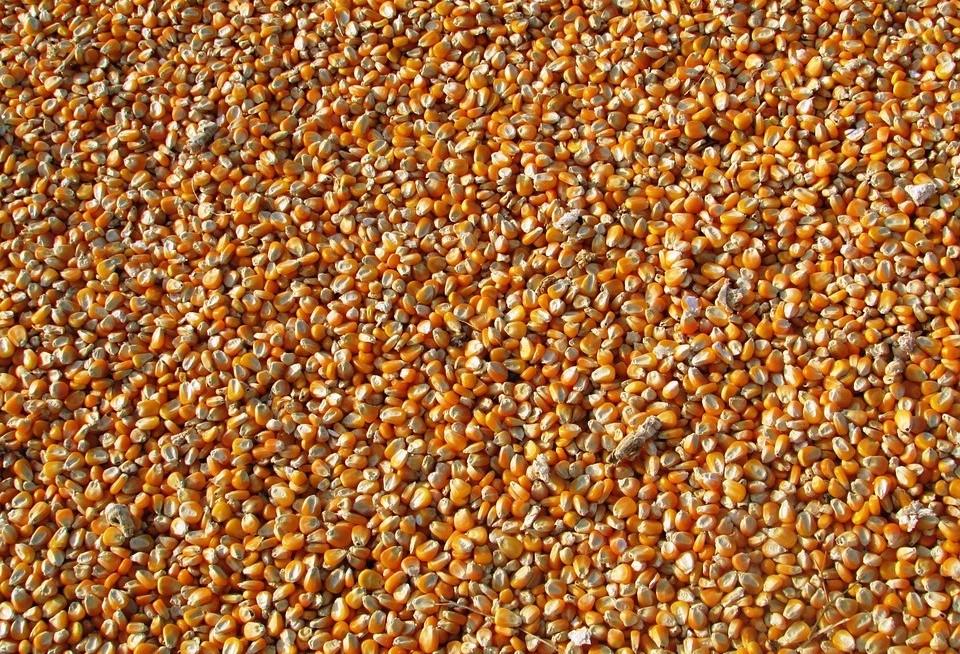 Quebra da safrinha de milho pode chegar a 25% na região de Maringá