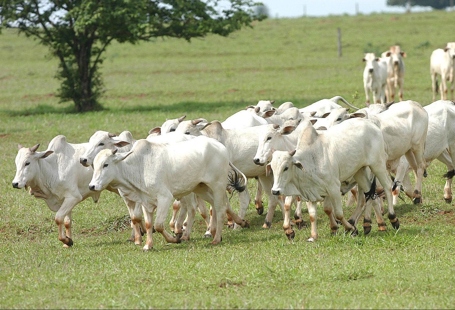 Boi gordo custa R$ 150 a arroba na região de Maringá