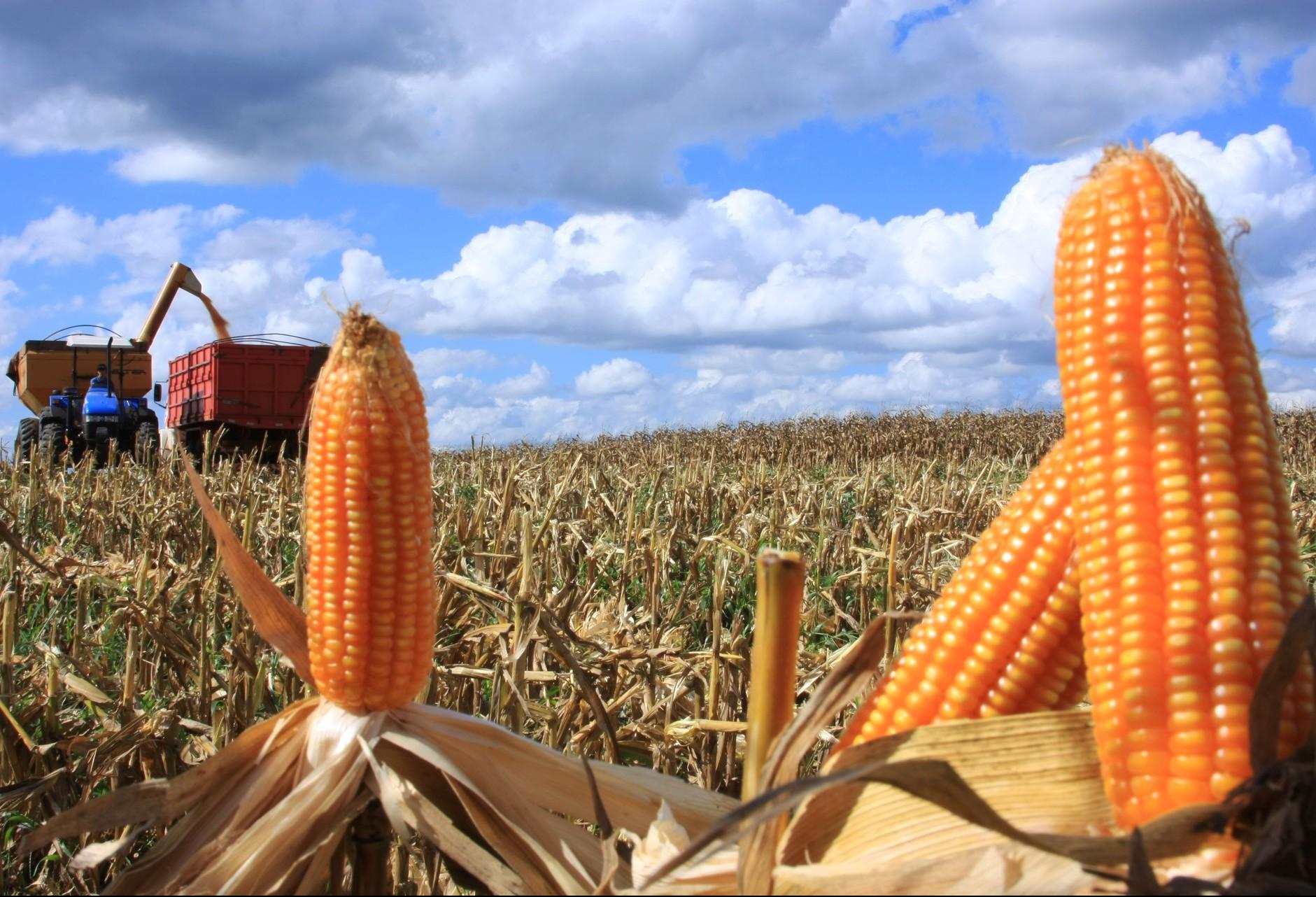 Saca do milho custa R$ 29 em Maringá e região