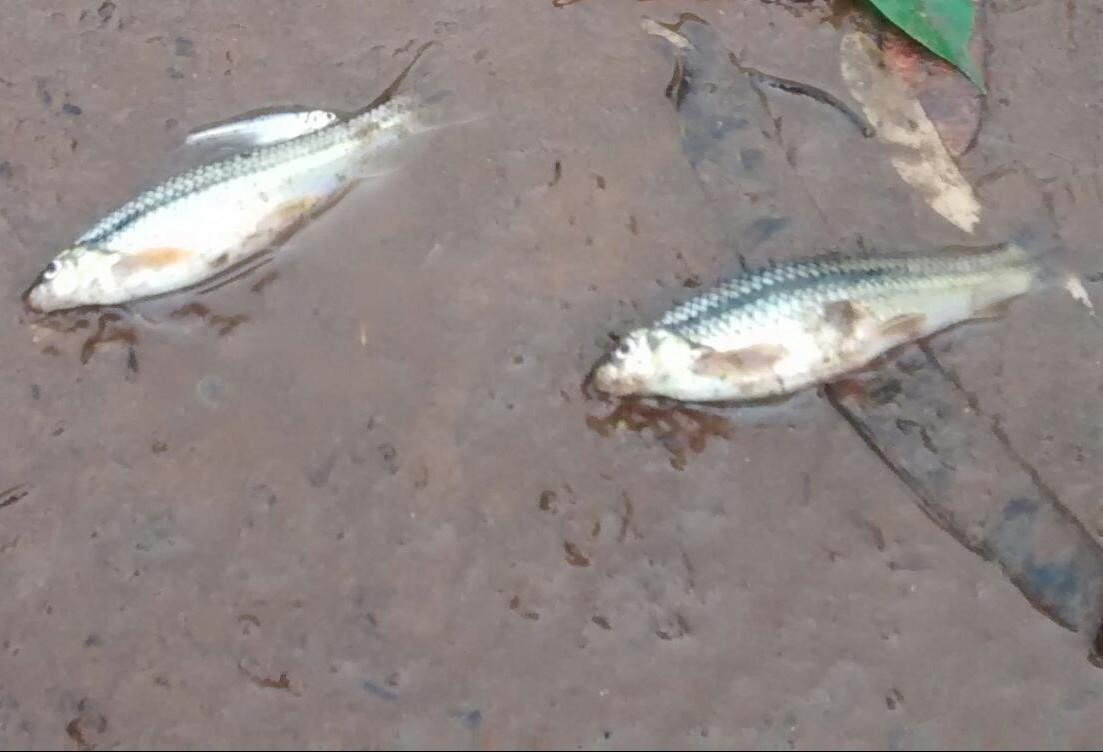 Laudo do IAP aponta que morte de peixes no final de setembro foi causada por poluição