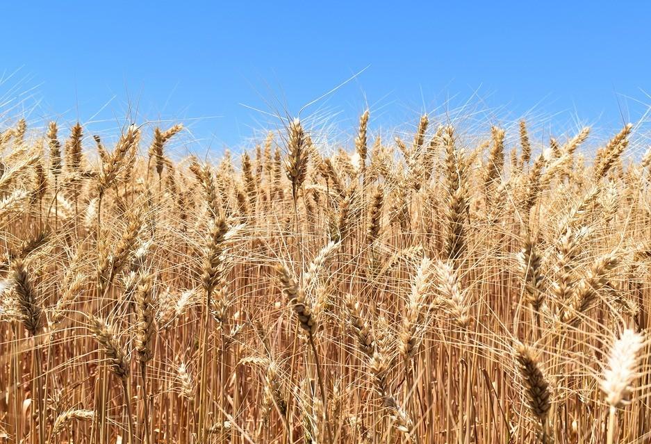Por causa da chuva, colheita do trigo na região de Maringá começa lenta