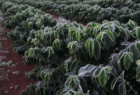Previsões de geada no inverno preocupa produtores de café