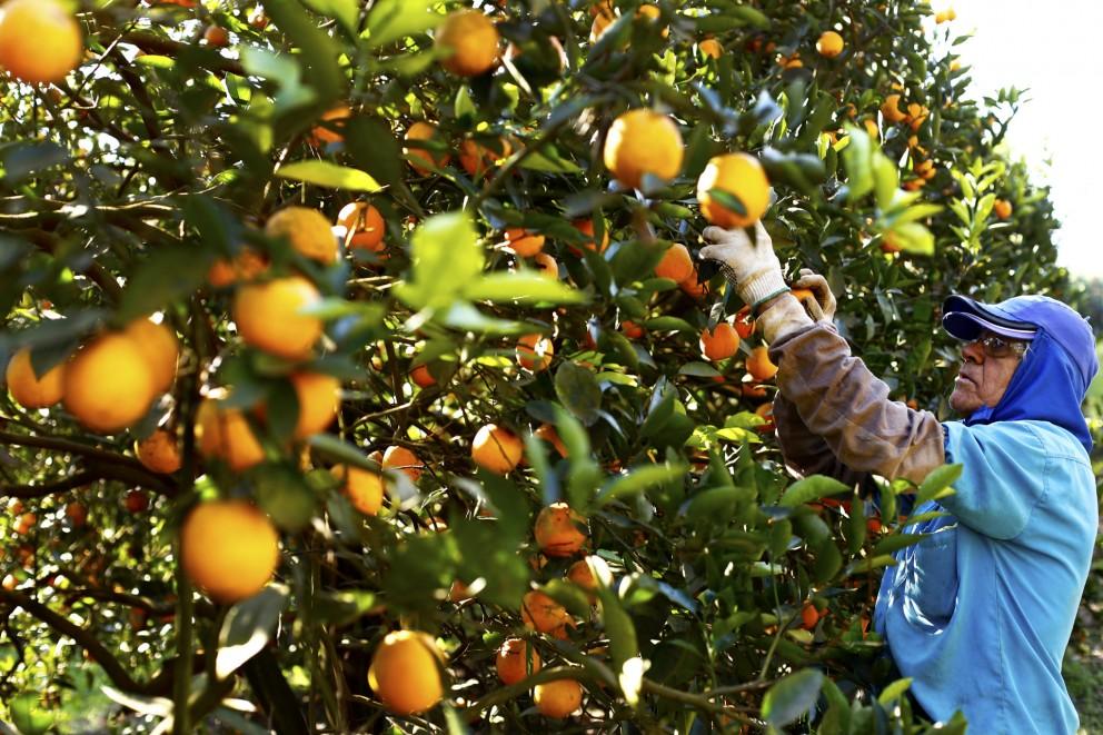 Safra da laranja tem aumento de 30%