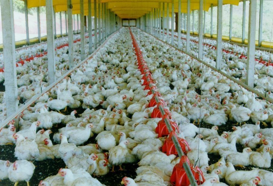 Setor aviário sofreu grande impacto com a greve dos caminhoneiros
