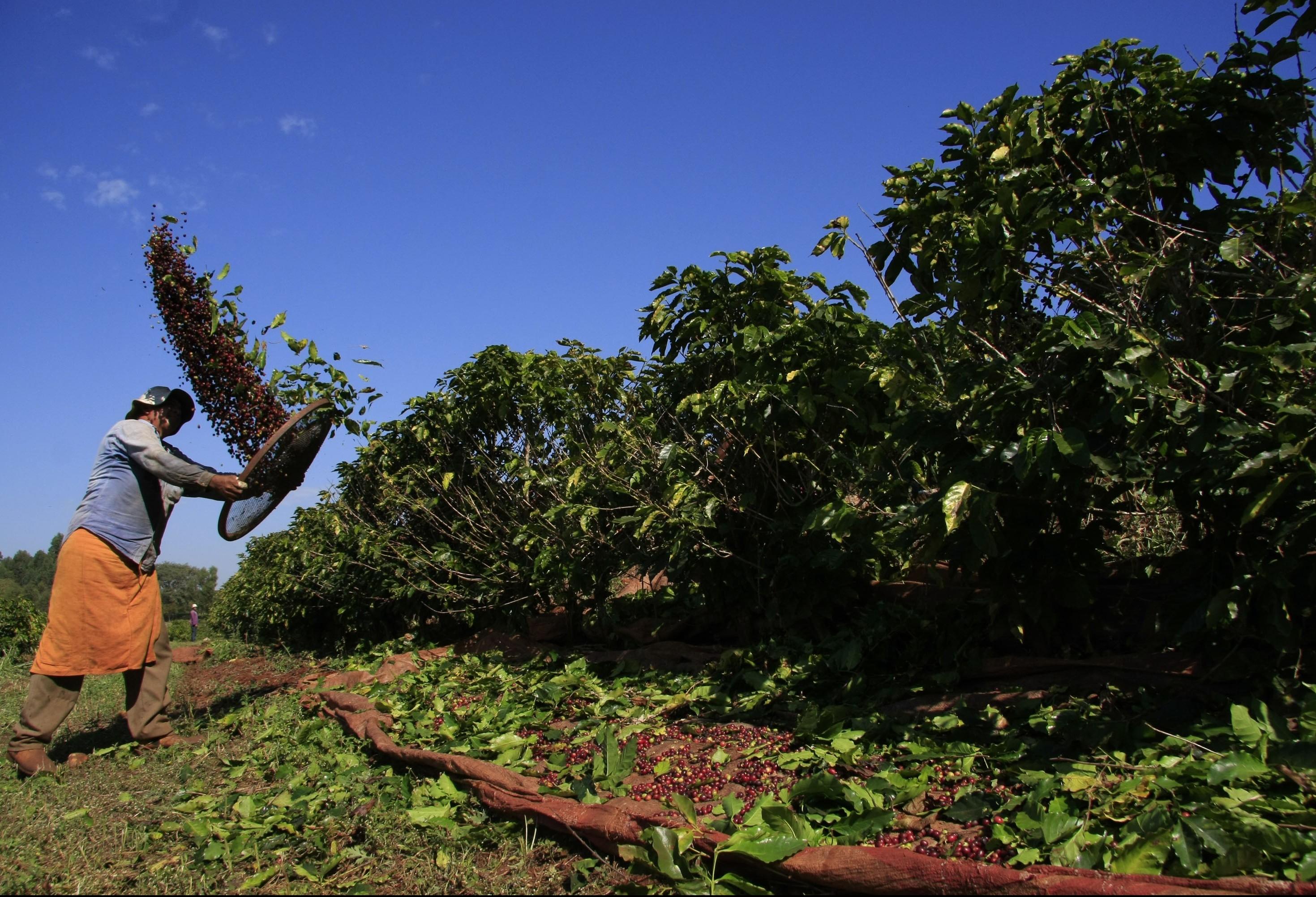 Tempo seco e quente contribui com a colheita do café