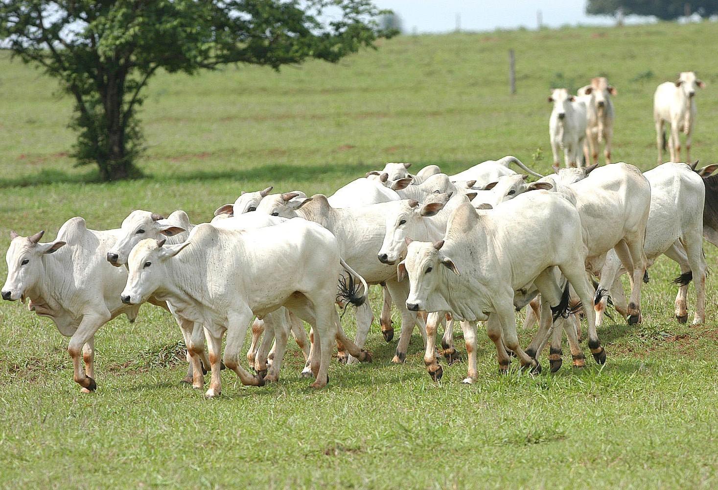 Arroba do boi gordo custa R$ 147 em Umuarama