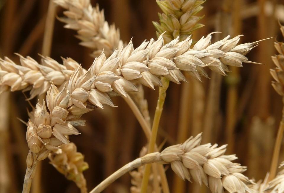 Evento aborda cenários e expectativas para safra do trigo paranaense