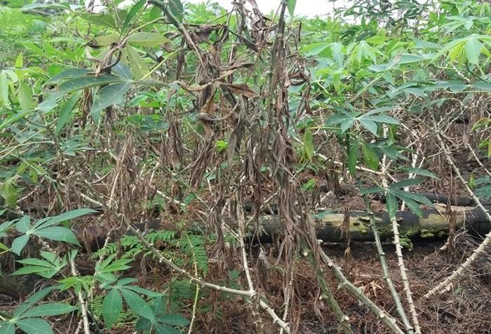 Confirmado primeiro caso de nova doença da mandioca