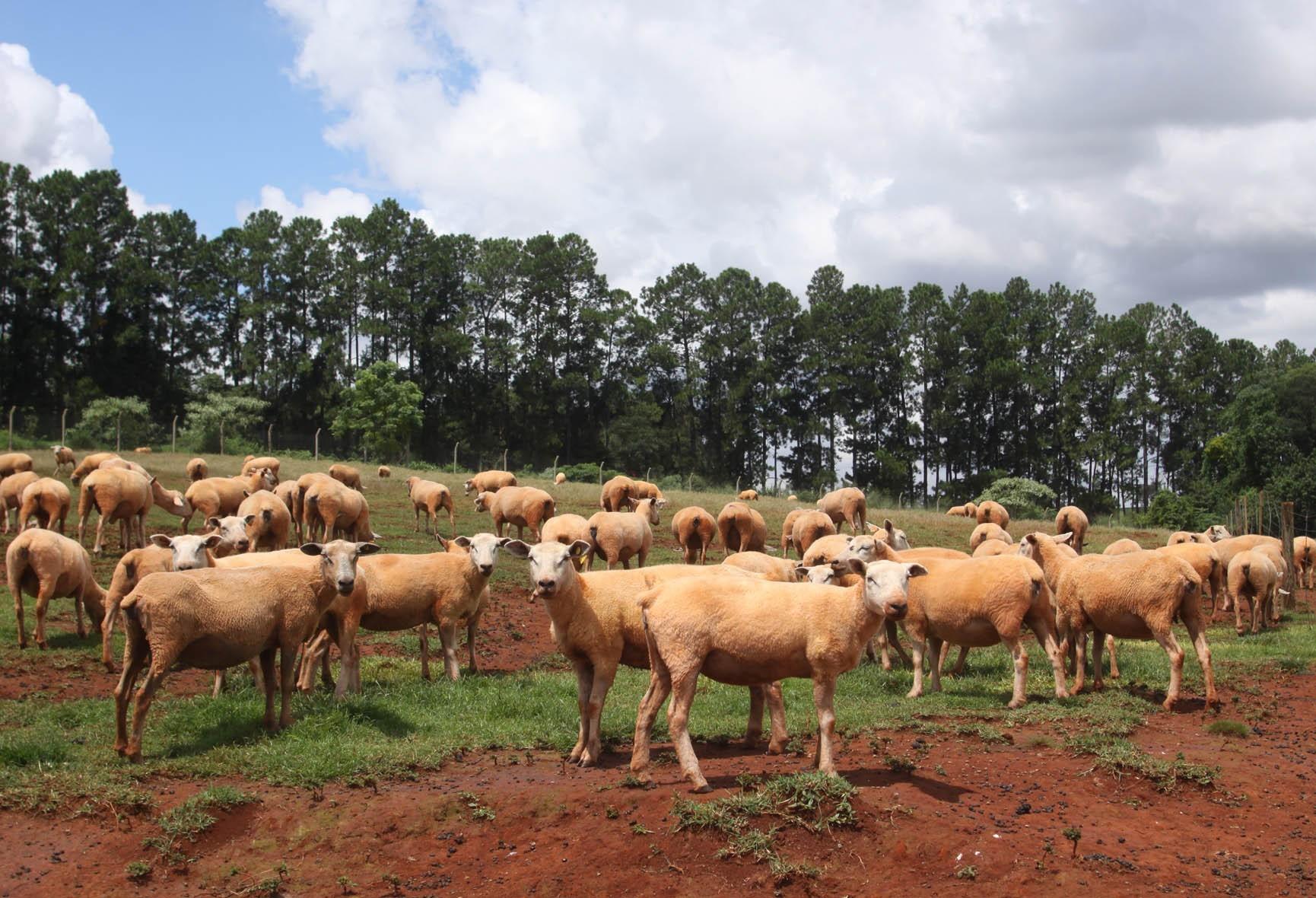Aumento da procura por carne de ovinos no Paraná