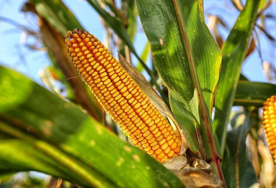 Produtores estão preocupados com a plantação do milho