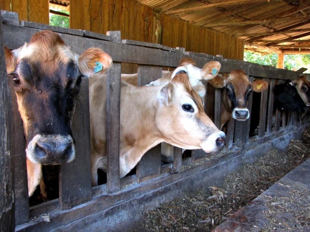 Em queda, vaca gorda custa R$ 128/@