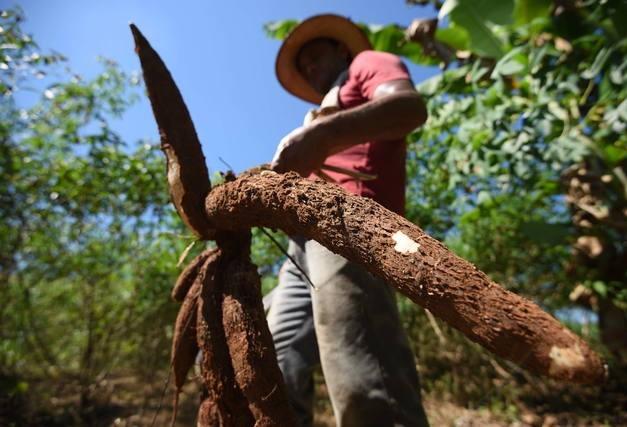 Tempo seco favorece lavouras de café mas atrapalha o arranquio da mandioca