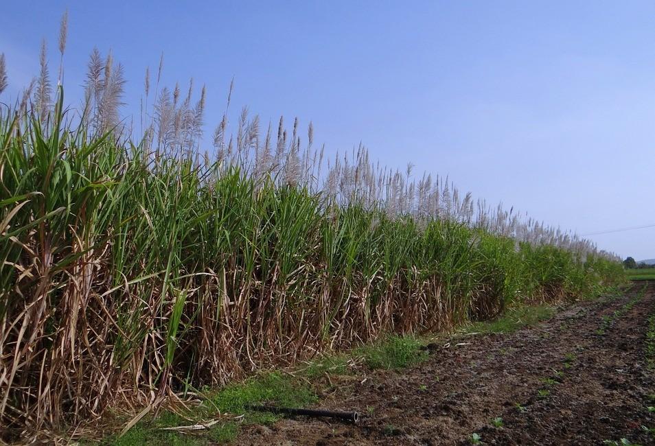 Tonelada da cana-de-açúcar custa R$ 65,76 no campo