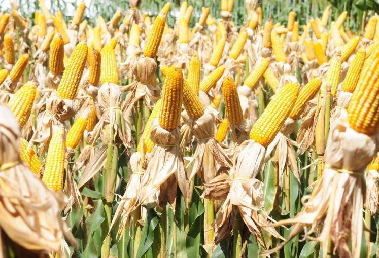 Brasil deverá colher 66,22 mi de toneladas de milho safrinha