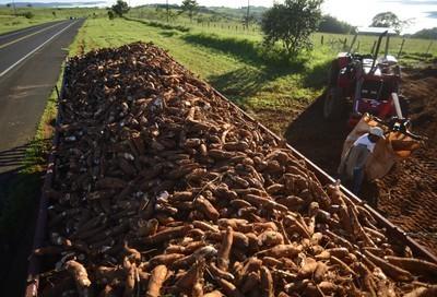 Tonelada da raiz de mandioca custa R$ 400 na região