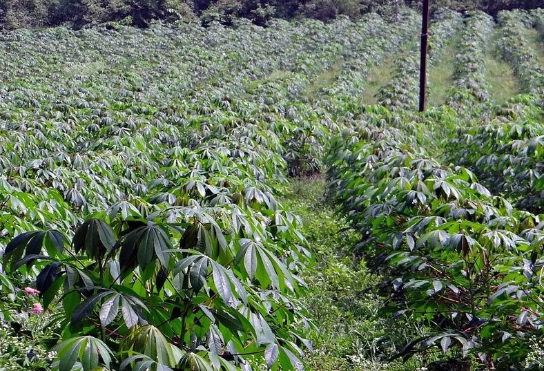 Preços da raiz de mandioca seguem em alta
