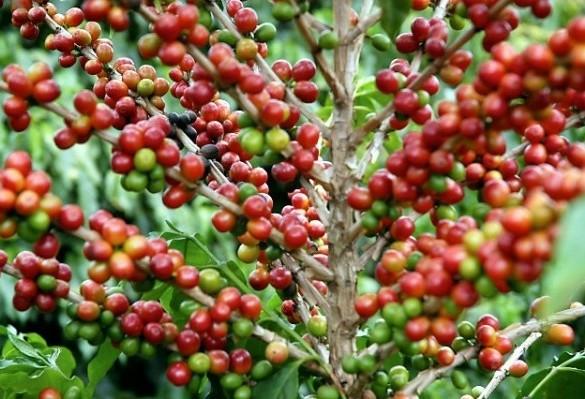 Café custa R$ 6,90 kg na região de Maringá
