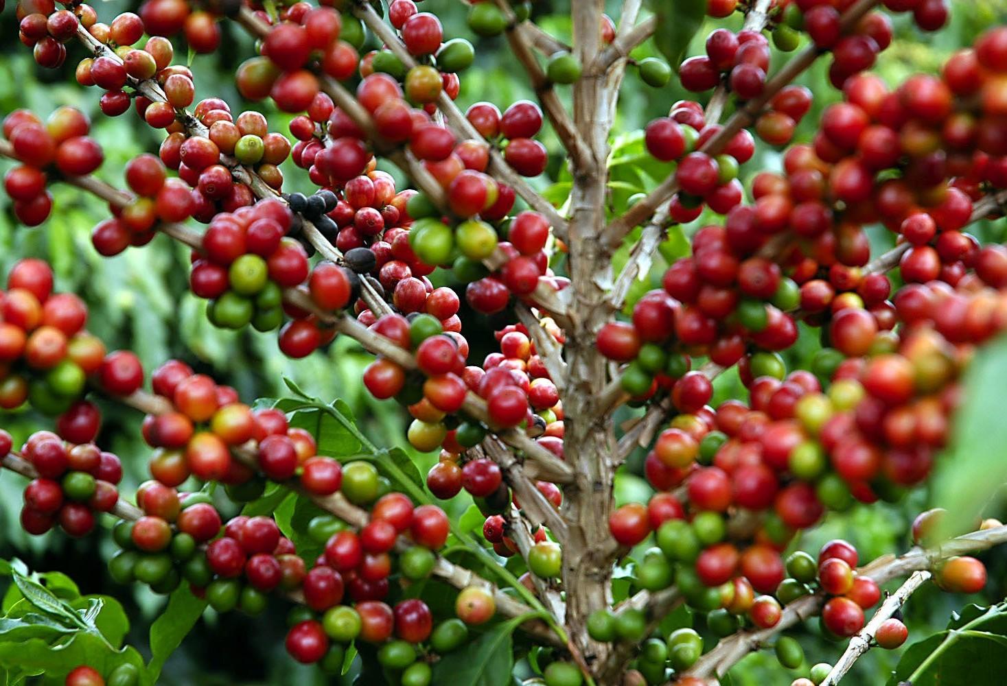 Preço do café em coco está em queda
