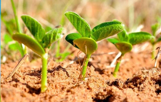 Plantio de soja segue até janeiro