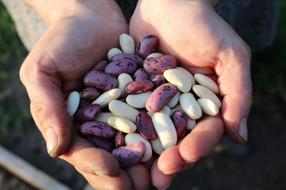 Safra de feijão começa com perdas no sul do Paraná