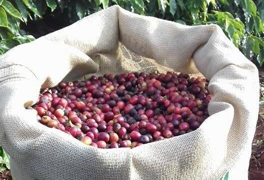 Preço do café em Umuarama é mais alto que em Maringá