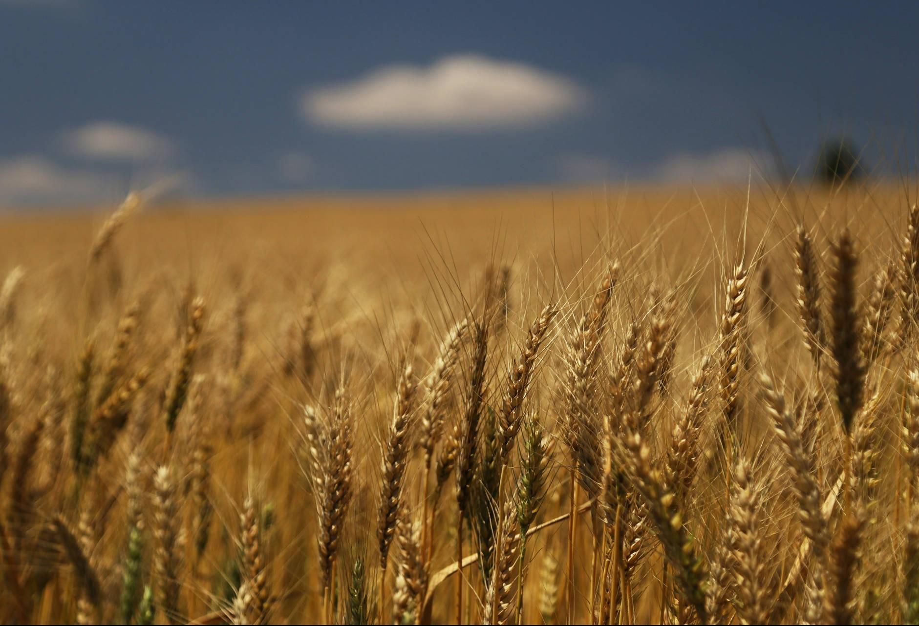 Oeste do Paraná colheu 12% de toda a safra brasileira de trigo neste ano