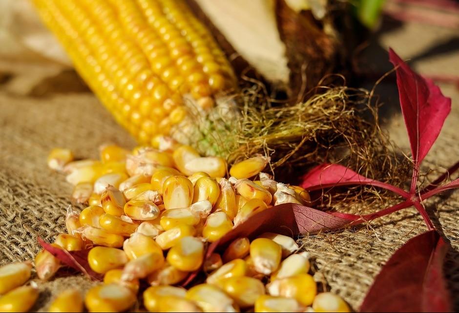 Milho apresenta ligeira queda em Maringá
