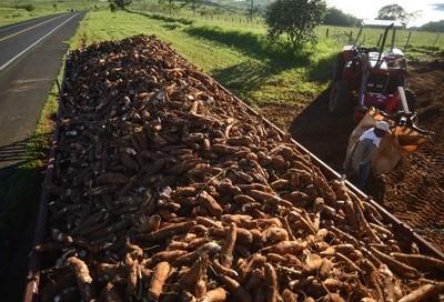 Tonelada da raiz de mandioca custa R$ 450 em Campo Mourão