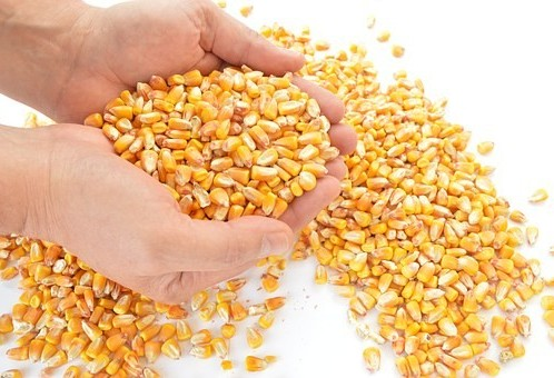 Governo prorroga venda de milho em balcão aos pequenos produtores