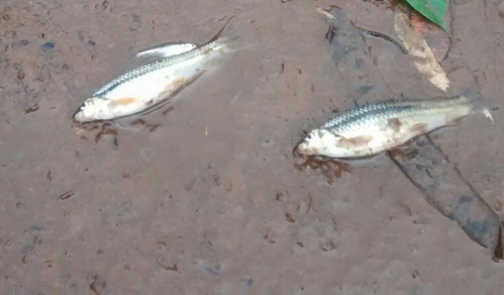 Peixes mortos são encontrados no Rio Pirapó, entre Maringá e Iguaraçu