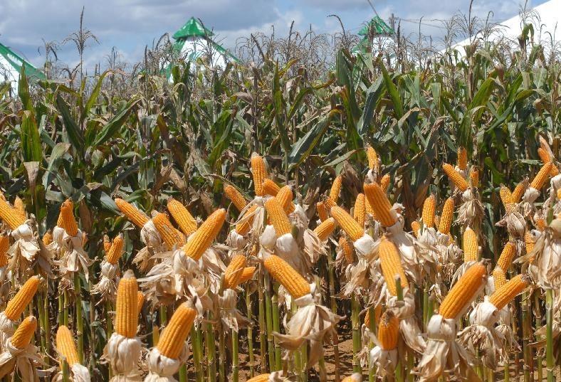 Preço do milho teve elevação de quase 15% entre abril e maio