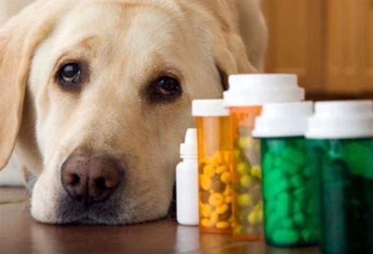 Uso indiscriminado de medicamentos pode causar intoxicação nos pets
