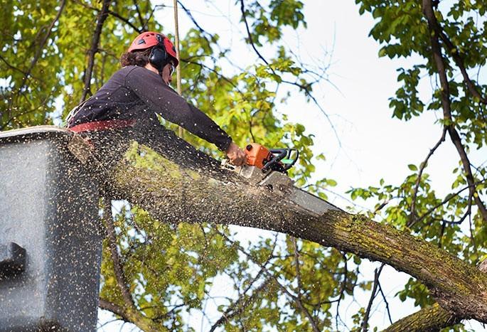Duas empresas arrematam licitação para corte de árvores em Maringá